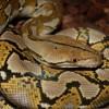 Продам змею в Самаре фото