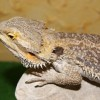 Фото объявления - Продаю рептилий питоны и крокодилы Самара