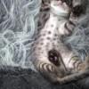 Отдам в дар красивых маленьких котят