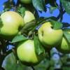 Фото объявления - Саженцы плодовых и ягодных растений, деревья, кустарники