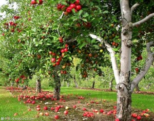 Фото а вот плодоносящий ухоженный сад