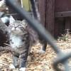 Фото объявления - Настоящие мейн-куны котята